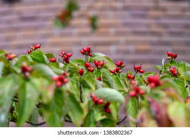 Red fruits of flowering dogwood, Cornus florida, on the branch