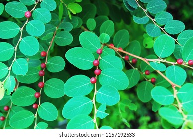 Red fruits and green leaves
