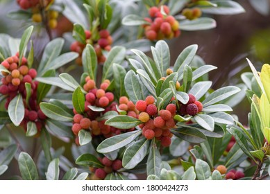 Red fruits of Japanese bayberry, on the branch