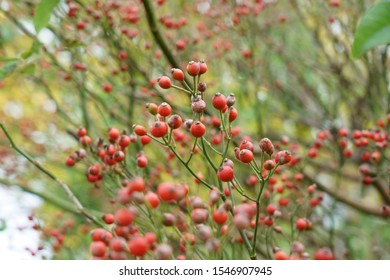 Red fruits of Japanese rose or Eijitsu rose (Rosa multiflora)