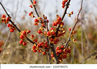 Red fruits of Oriental staff vine (Celastrus orbiculatus)