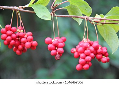 Red fruits of schisandra growing on branch in row. Clusters of ripe schizandra. Crop of useful plant. Red schizandra hang in row on green branch. Schizandra chinensis plant with fruits on branch