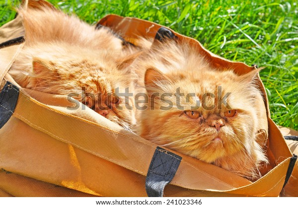 red funny cats in a bag