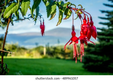 Red fuschia with mountains in the background in Ireland