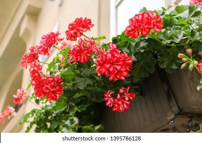 Red garden geranium flowers in pot , close up shot geranium flowers. pelargonium