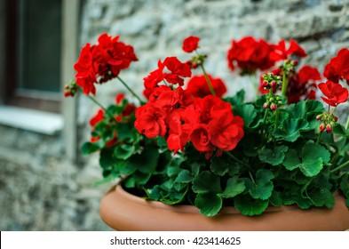 Red garden geranium flowers in pot , close up shot / geranium flowers. pelargonium