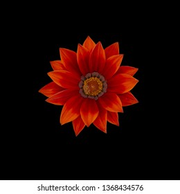 Red gazania flower centered with many petals from above isolated on black.