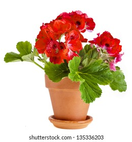 Red geranium flower  in a clay pot  isolated on white background