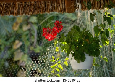 red geranium flowers in pot hang on roof