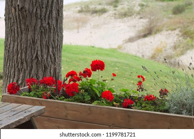 Red geranium flowers in the wooden vase (Marche, Italy, Europe)