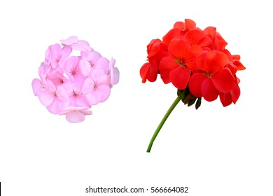 red geranium and pink geranium isolated on white background