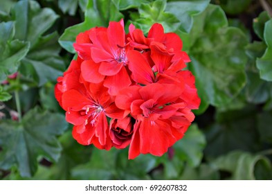 Red Geraniums. Beautiful red flowers in the garden on a beautiful sunny day in Minas Gerais, Brazil.