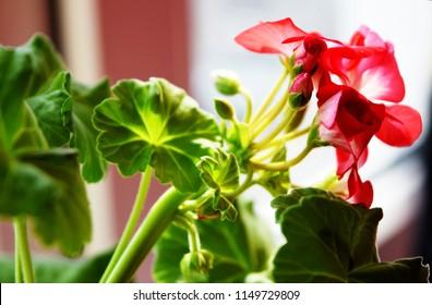 Red geraniums bloom on the window. Red house geranium. Pelargonium hortorum.
