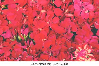 Red geraniums flowers pattern