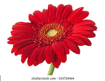 Red gerber flower isolated on white background