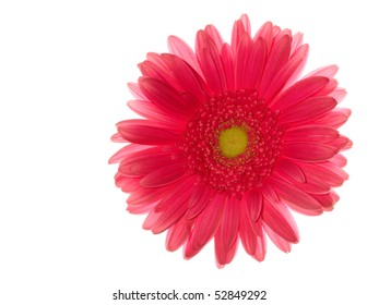 Red gerbera daisy isolated on white