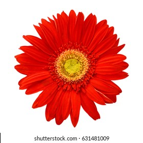 Red gerbera daisy. Isolated on white, with clipping path.