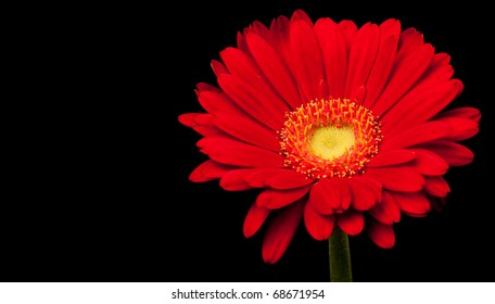 Red Gerbera Daisy Isolated on Black