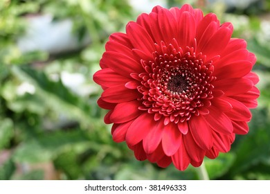 Red Gerbera Daisy on the green background