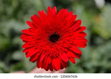 Red Gerbera Daisy in the Wild Gardens