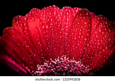 red gerbera with drops of dew