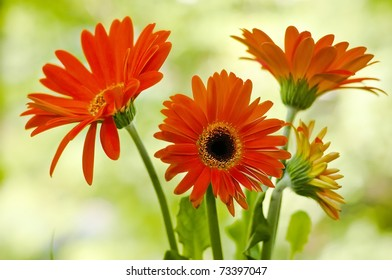 Red gerbera flower against green natural background