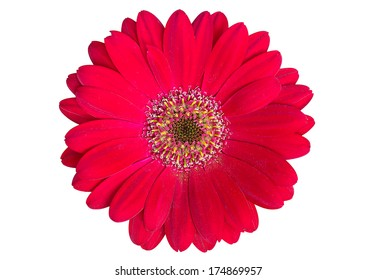 Red gerbera flower  Isolated on White
