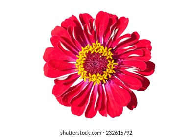 Red Gerbera flower isolated on white background with clipping path