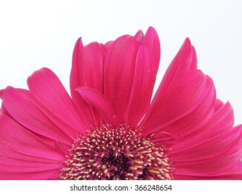 Red gerbera flower isolated on a white background