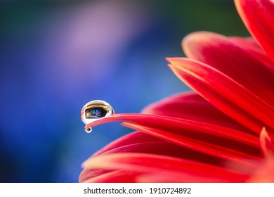 Red gerbera flower with a small drop of water in which tiny flowers are reflected in a beautiful blue bokeh background.