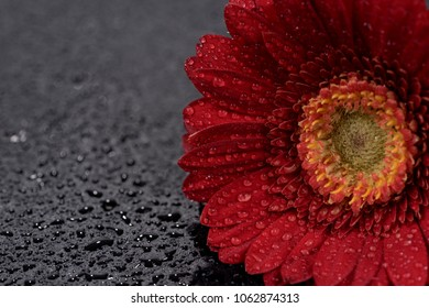 Red gerbera flower with water droplets isolated on black background