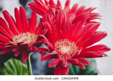 Red Gerbera flowers on white and green blurred background