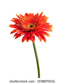 red gerbera flowers on a white background.