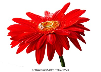 Red gerbera with the golden ring isolated