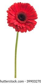 red gerbera on a stalk