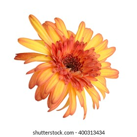 Red gerberas (african daisy) isolated on white