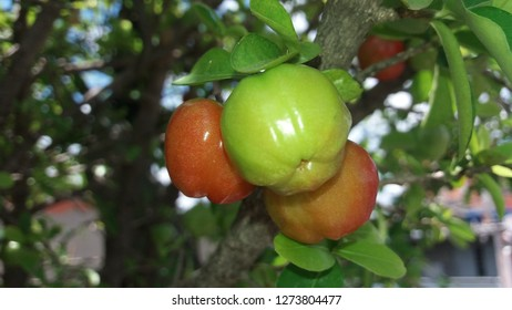 red and giant acerola
