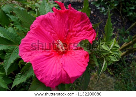 Red Giant Hardy Hibiscus Flower Stock Photo Edit Now 1132200080
