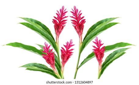 Red Ginger Flower