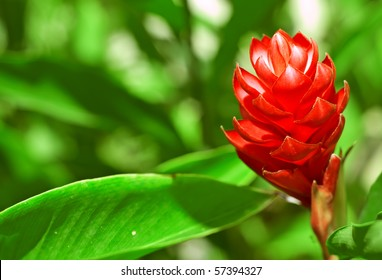 Red ginger flower in sunny day.