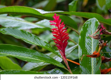 Red ginger flower in a tropical garden, Costa Rica