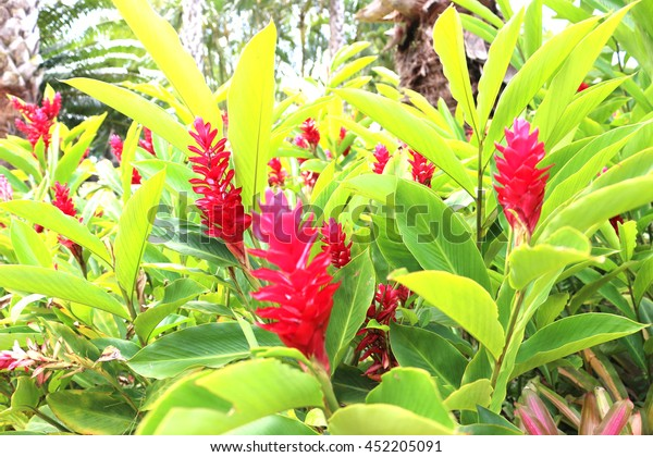 Red ginger in Hawaii