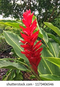 Red Ginger Plant, Hawaii