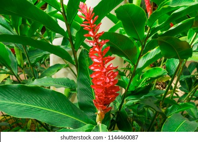 Red ginger 's petal on green leafs, a tropical flowering plant, Botanical name is Alpinia purpurata known as King jungle or Queen jungle
