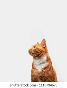 Red ginger tabby cat isolated on a light grey background looking to the side.
