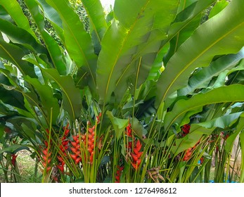 Red ginger or zingiberaceae with the nature