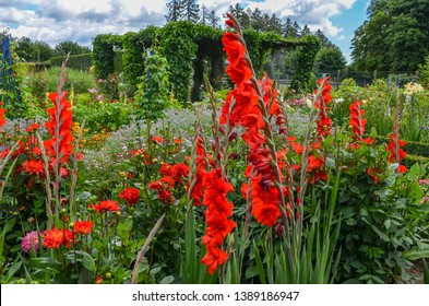 Red Gladiolus flowers in full bloom in a garden in a sunny summer day