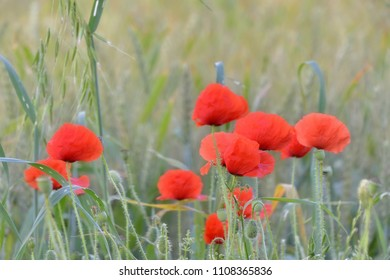 Red glossing poppies in a wheat field, spring time, grey green background
