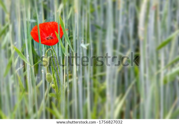 A red glowing poppy is in the middle of the wheat field and a hoverfly finds food in its blossom.