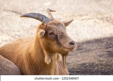 red goat basking in the sun at the zoo